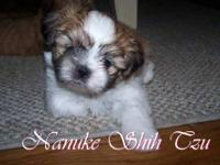 Meet Bubba a handsome gold Shih Tzu male with a black
