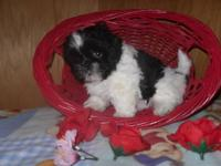 We have Shih Tzu puppy's AKC regisered. 2 boy's 8