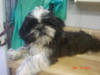 Shih Tzu Male Black he has white equipping on front