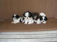 Developer Pups. Shih Tzu / Maltese. Born and raised in