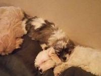 Adorable little furballs! Shih Tzu/Maltese Cross. 8