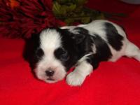 Rocko is a gorgeous black and white Mal Shi puppy. Mom