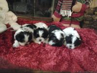 For sale we have 4 males black and white The mother is