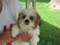 Shih Tzu/Maltese designer pups. DOB 5-1-15. Born and
