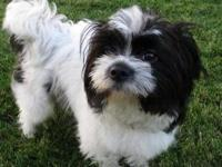 Shih Tzu - Marble - Small - Baby - Male - Dog This