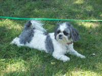 Shih Tzu - Moto - Small - Adult - Male - Dog Moto is a