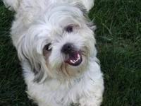 Shih Tzu - Nestlee - Small - Young - Male - Dog My name