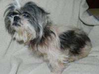 Shih Tzu - Newnee - Small - Adult - Female - Dog Newnee