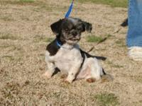 Shih Tzu - Nibblet - Small - Adult - Male - Dog Nibblet