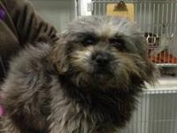 Shih Tzu - Oj - Small - Young - Male - Dog