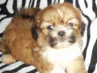 I have a a little Shih Tzu Pekingese mix puppiy, has