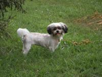 Shih Tzu - Penny - Small - Young - Female - Dog PENNY