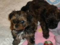 shih tzu /poodle designer top quality puppies beautiful
