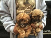 Adorable male and female Shih Tzu/ Poodle mix puppies