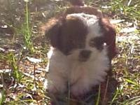 BEAUTIFUL Shipoo Puppies 7 wks old 3 Males 2 Females,