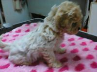 Adorable Shih tzu and Poodle mixes ready now for their