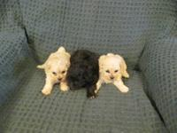 We have 3 very sweet Shih Tzu/Toy Poodle puppies. Mom