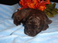 Cyrus is a gorgeous chocolate/liver Shihpoo puppy with