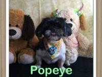 Shih Tzu - Popeye - Small - Adult - Male - Dog Our