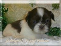Shih Tzu - Precious - Small - Adult - Female - Dog