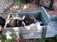 Gorgeous puppies brindle and white, mom and dad are
