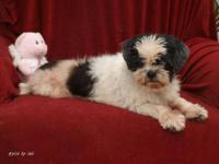 Shih Tzu - Prissy - Small - Senior - Female - Dog