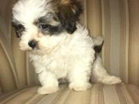 One boy Maltese/ Shihtzu puppy 8 weeks old Has all