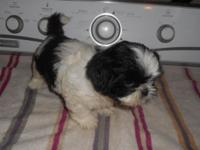 Precious black and white shih tzu puppy. His DOB is