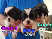 3 Shih tzu puppies looking for a special home 2 girls 1
