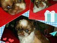 Chocolate/White and White/Creme Shih Tzu puppies all