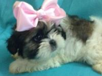3 stunning Shih Tzu puppies for sale born 11/19/14. 1