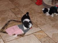 Adorable 9 week black & white Shih Tzu puppies, 1 male