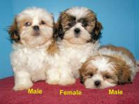 1 Female and 2 Males Shih-Tzu Puppies Born Sept.1,