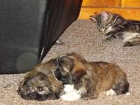 Beautiful Tri-Color puppies, 2 males $450.00, First