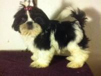 I have a litter of 5 pure breed Shih Tzu puppies for