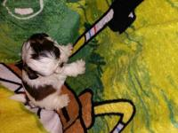 Purebred shih tzu puppies for sale just in time for