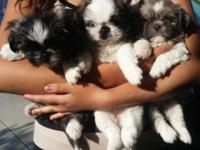 Shih tzu puppies very loving and playful 8 weeks old