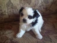 3 female and 2 male Shih-Tzu puppies born 7/25/2015.