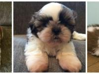 3 Champion sired Shih Tzu puppies available - two