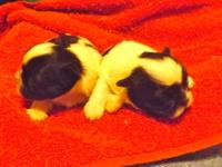 2 SHIH TZU PUPPIES FOR SALE TAKING DEPOSITS AT THIS