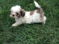 I have three male Shih tzu young puppies ready to go to