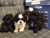 I have 4 female Shih tzu young puppies prepared to go.