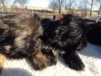 Handsome small Shih tzu puppies ready to go. Born and