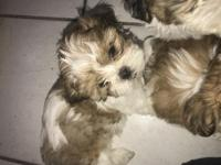 There is four adorable shih tzu puppies: three girls