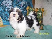 AKC Shih Tzu puppies ready now. These are beautiful