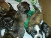 8 week old shih'tzu puppies need a loving and careing