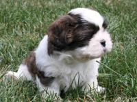 We have four beautiful brindle/white shih tzu puppies,