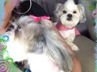 Shih Tzu puppies for sale , they are super adorable and