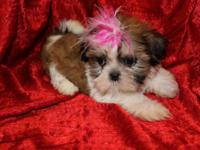 We have AKC Shih-Tzu puppies. Some are ready to go to