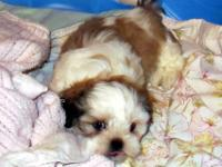 Shih Tzu Puppies, 8 weeks old. Registered, de-wormed